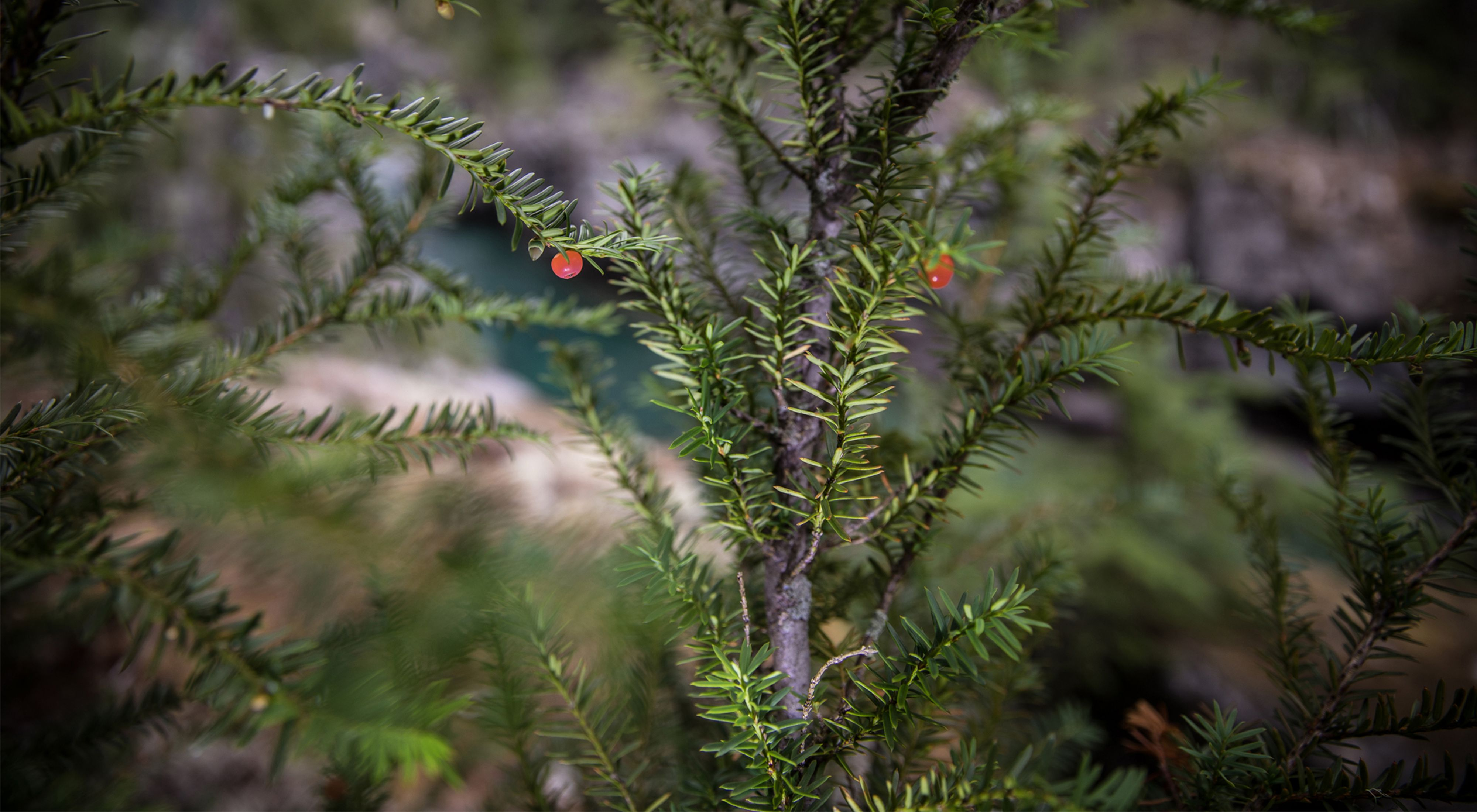 Close-up view of spiky green needles on a pacific yew tree.