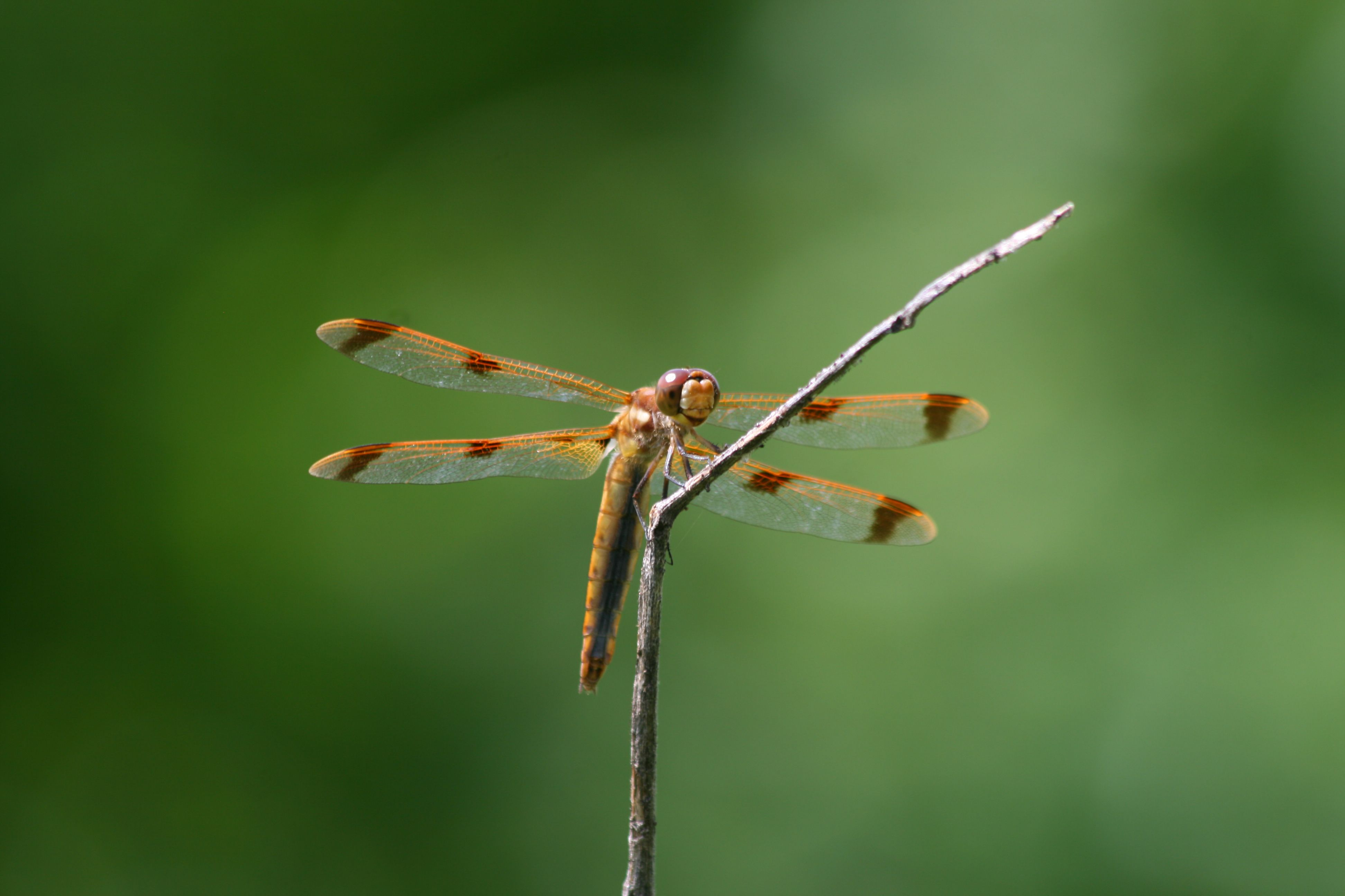A painted skimmer sits in front of a green background.