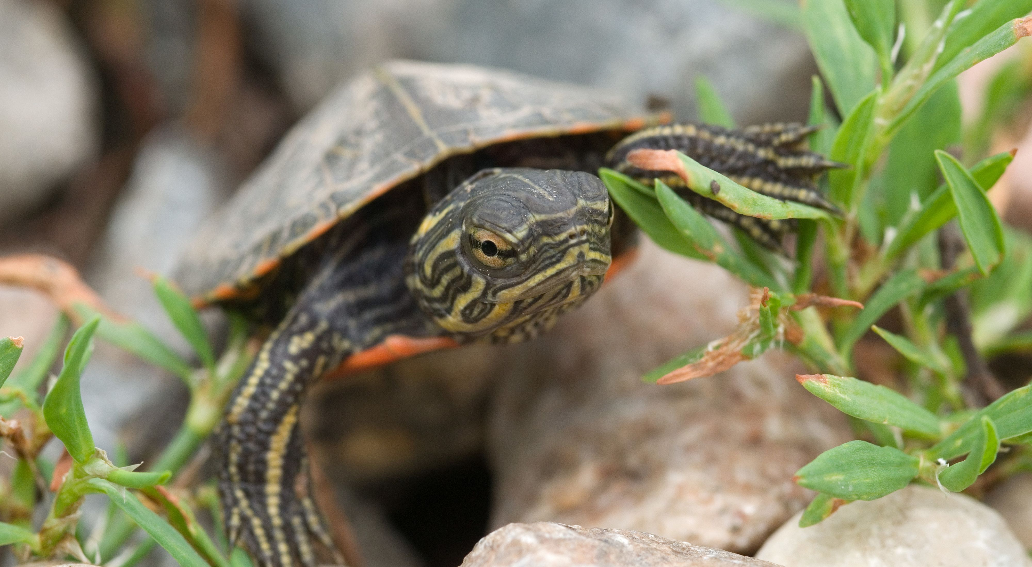 View of turtle's head, face and front legs as it walks toward viewer over rocks and through green vegetation.
