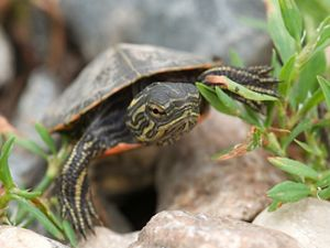 Young turtle as it walks toward viewer over rocks