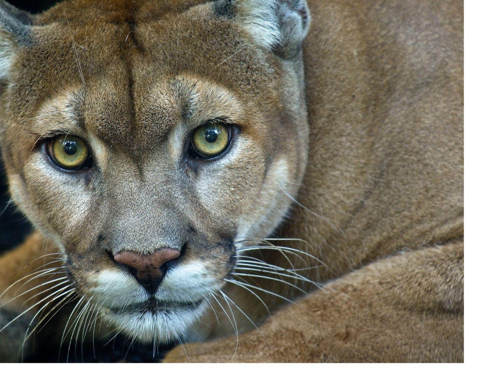 Save the Florida Panther