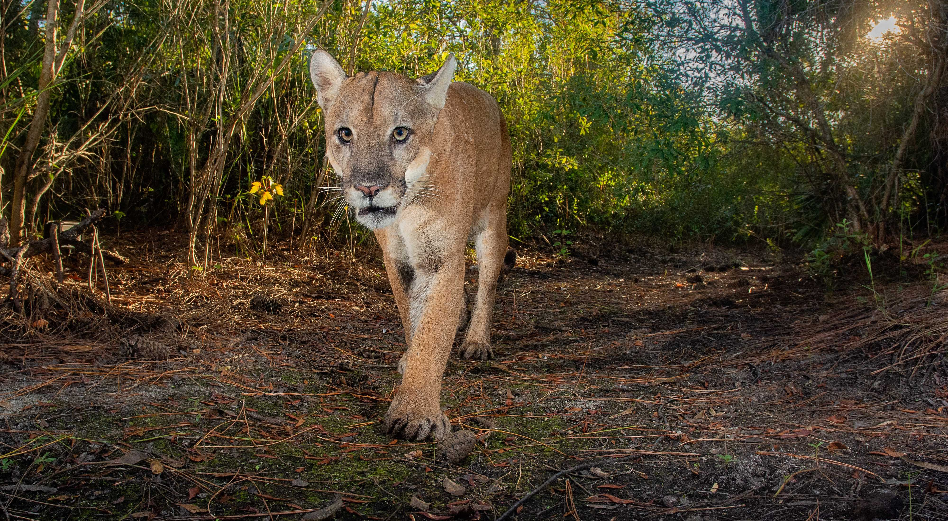 Florida panther walking in forest toward the camera.