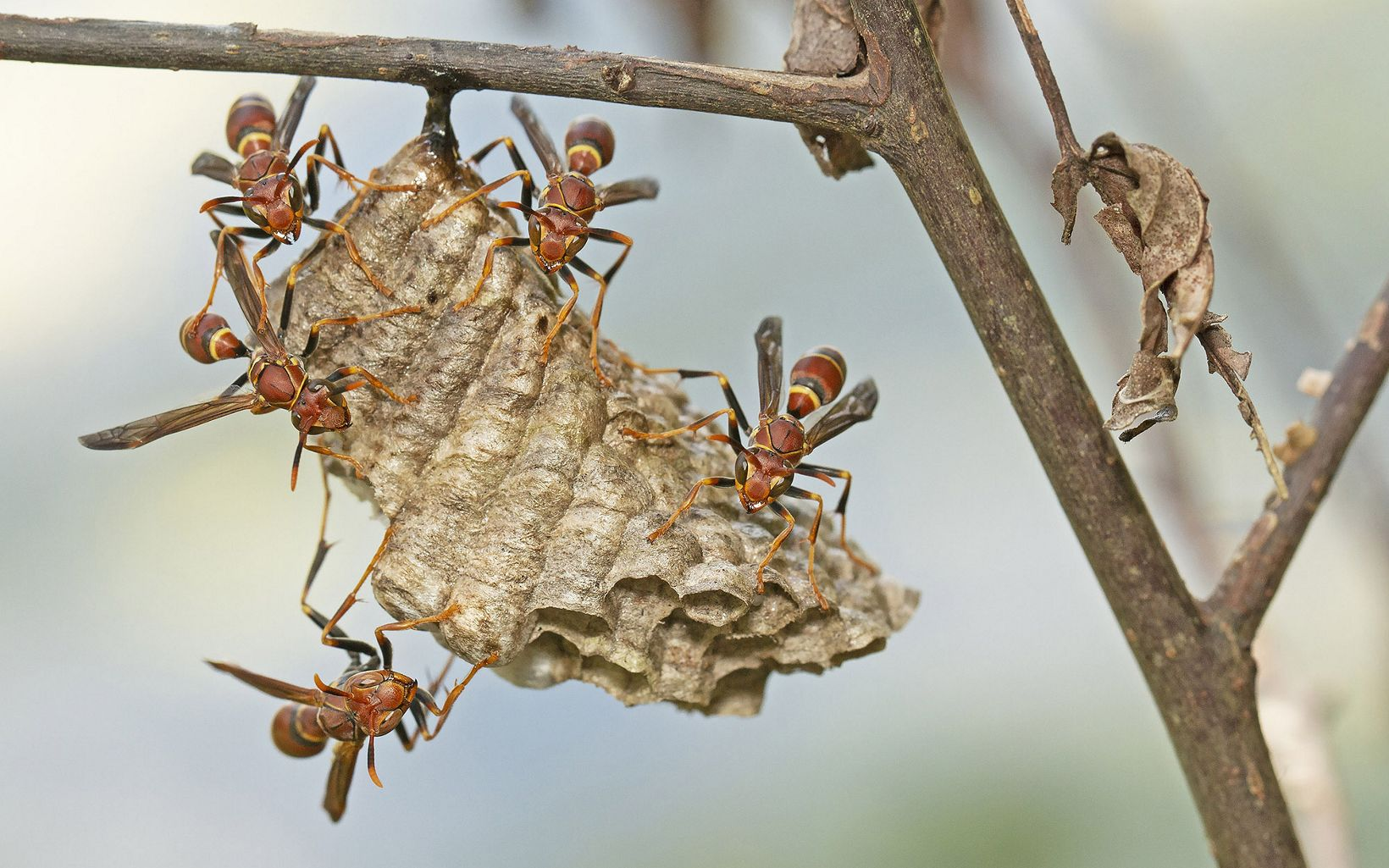 Paper wasps protecting nest