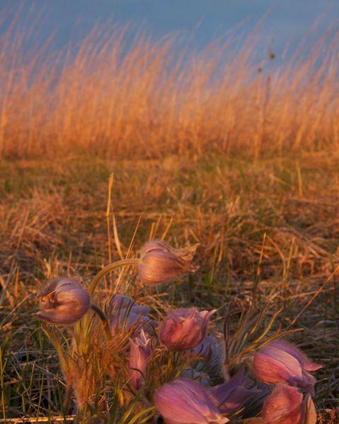 Pasque flowers and bluestem