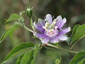 Native in the southeastern U.S. west to Oklahoma and Texas, passion vines attract hummingbirds, bees and butterflies.