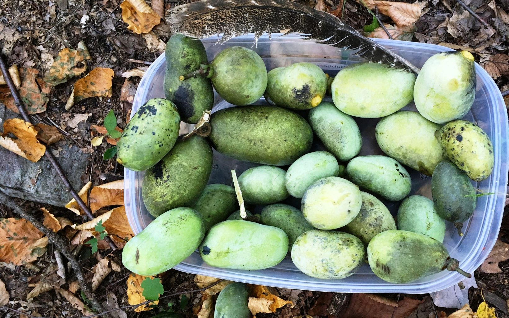A single feather adorns a bin full of paw paw fruit.