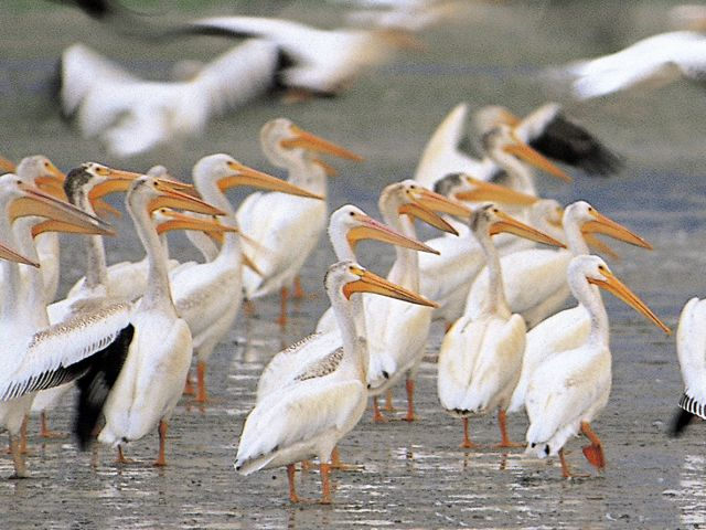 A large number of white pelicans stand in shallow water.