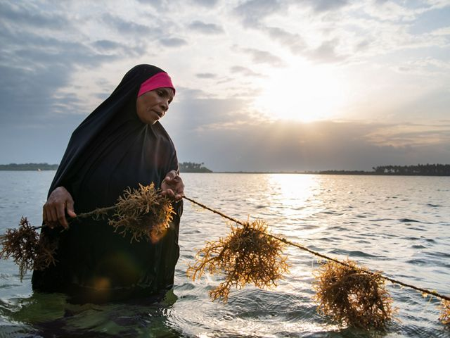 A woman holds a line of cultivated seaweed in shallow water in Tanzania.