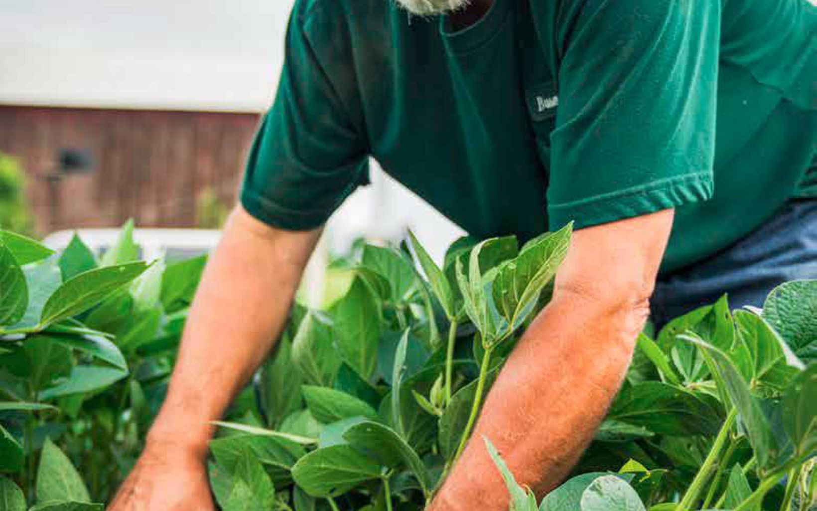 Closely cropped photo of a man in a green shirt bending over a row of crops. The leafy green plants reach up to his elbow.