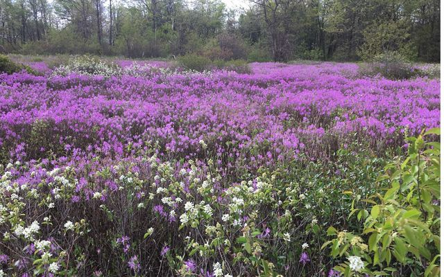 Species such as this field of Rhodora (Rhododendron canadense) responds well to prescribed fire.