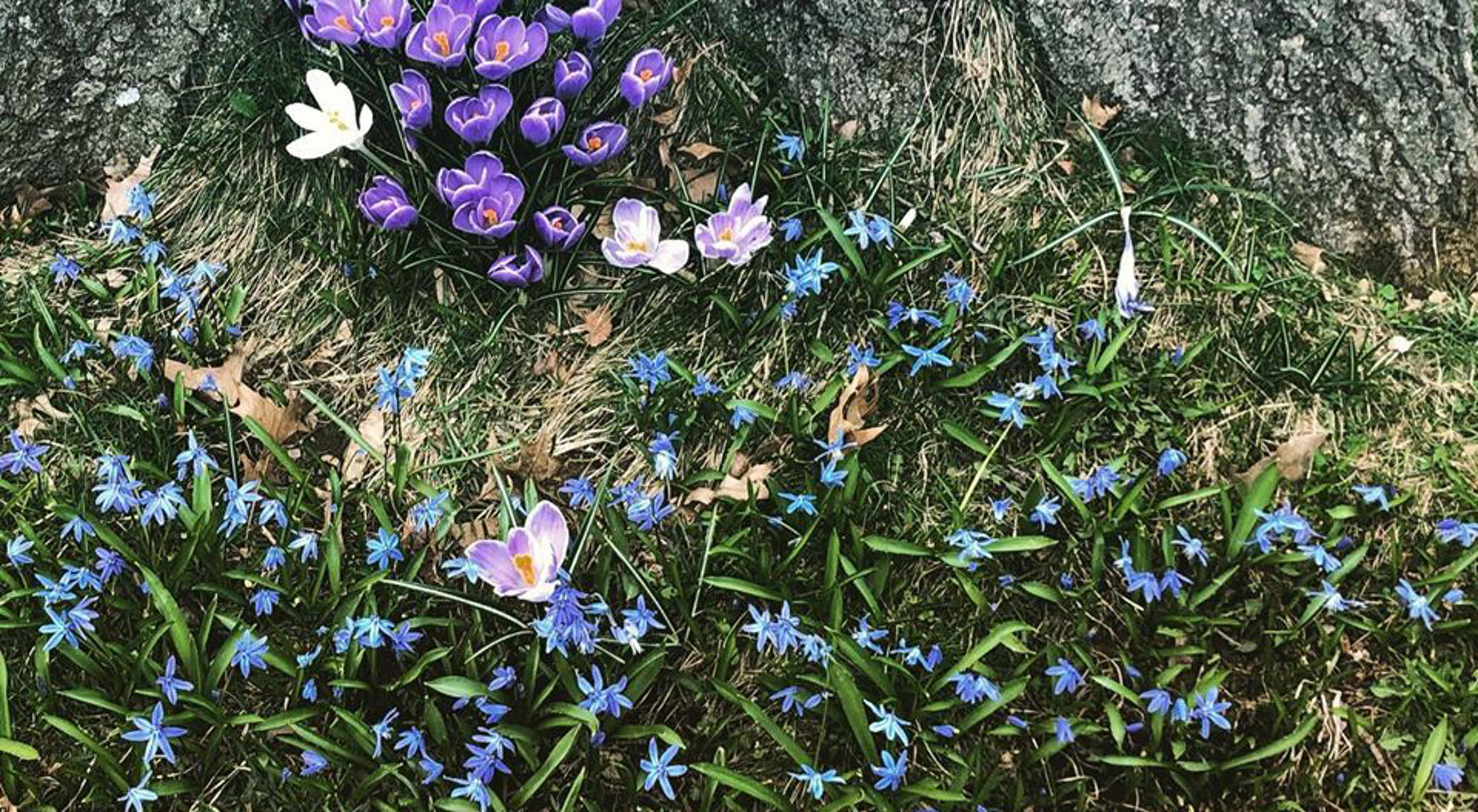Wildflowers bloom at the base of a tree. A small cluster of purple crocus are surrounded by delicate blue blossoms.