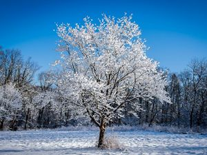 A tree stands in the middle of a small clearing against a bright blue sky. Its branches are frosted white with ice.