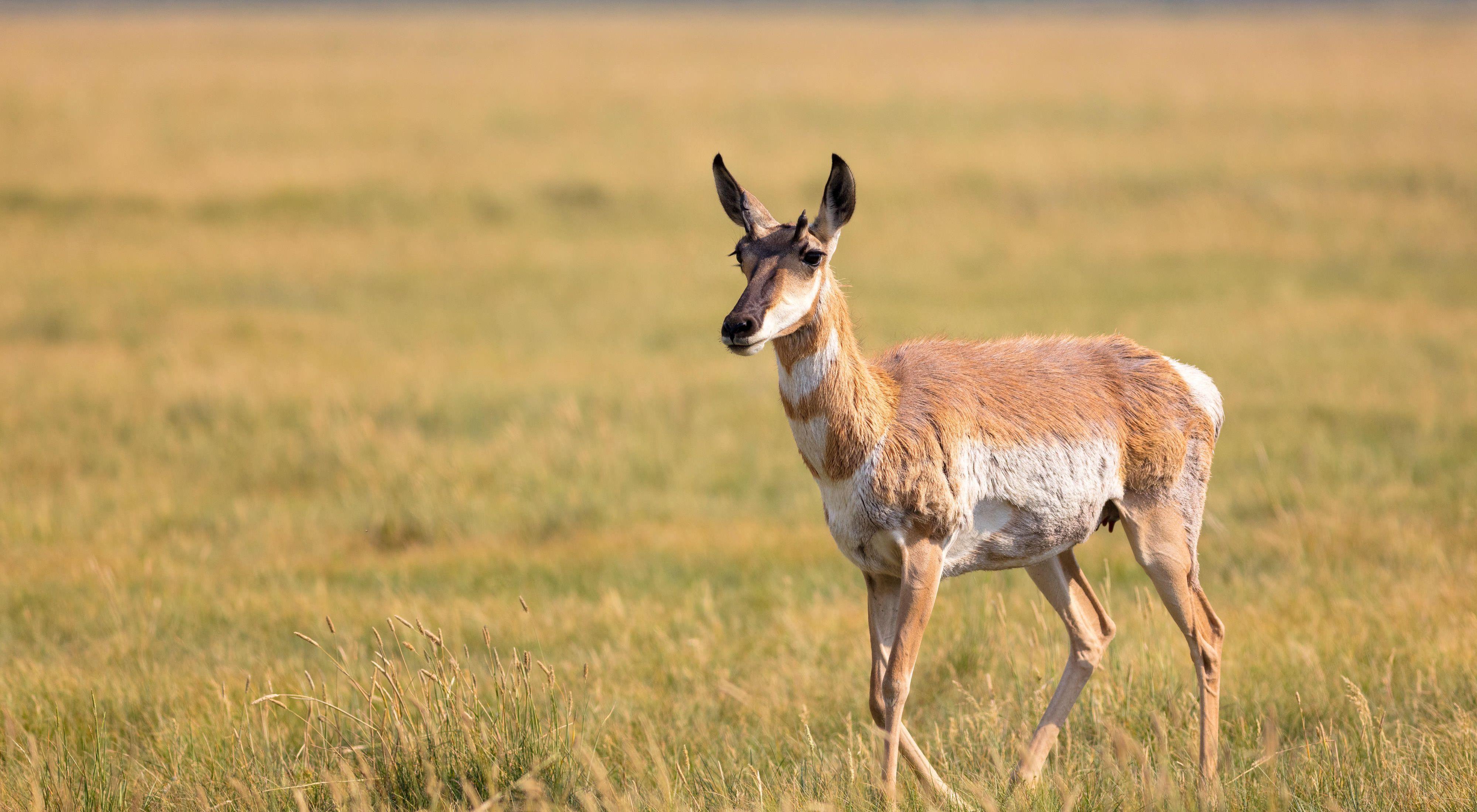 A pronghorn antelope standing in an open grassland.