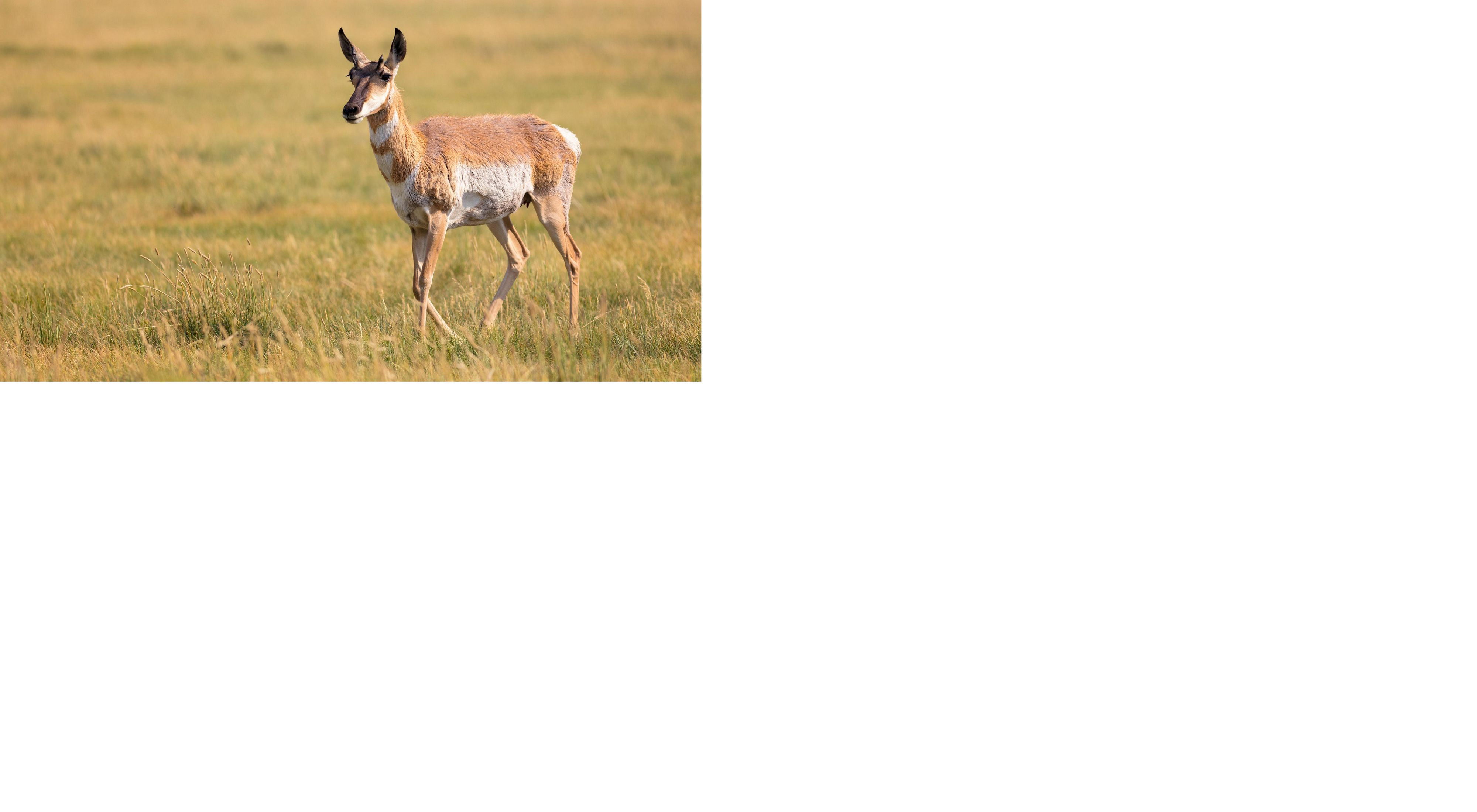 Pronghorn moving through the migration corridor of central Idaho