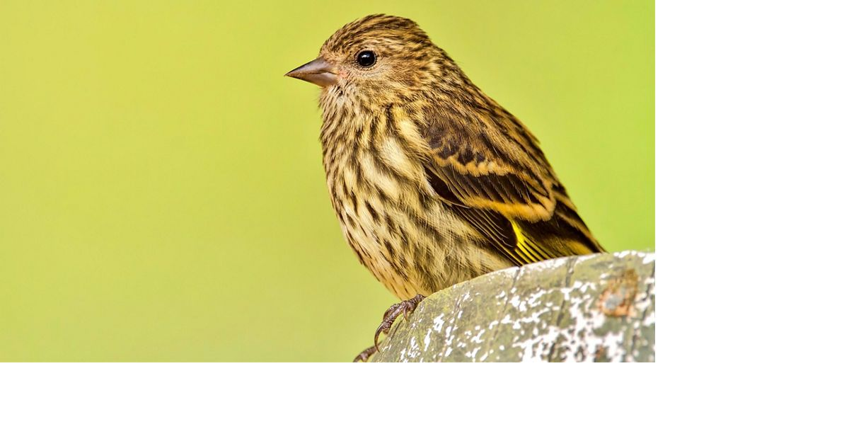 A pine siskin sits atop a rock. 