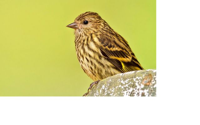 A pine siskin sits atop a rock.   Its mottled brown and white feathers with a hint of yellow on its wing, blend well with its surroundings.