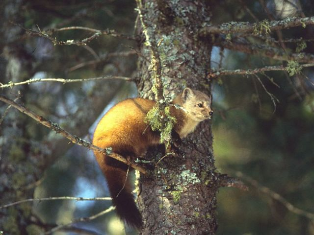 An American pine marten perches in the branches of a moss-covered pine tree