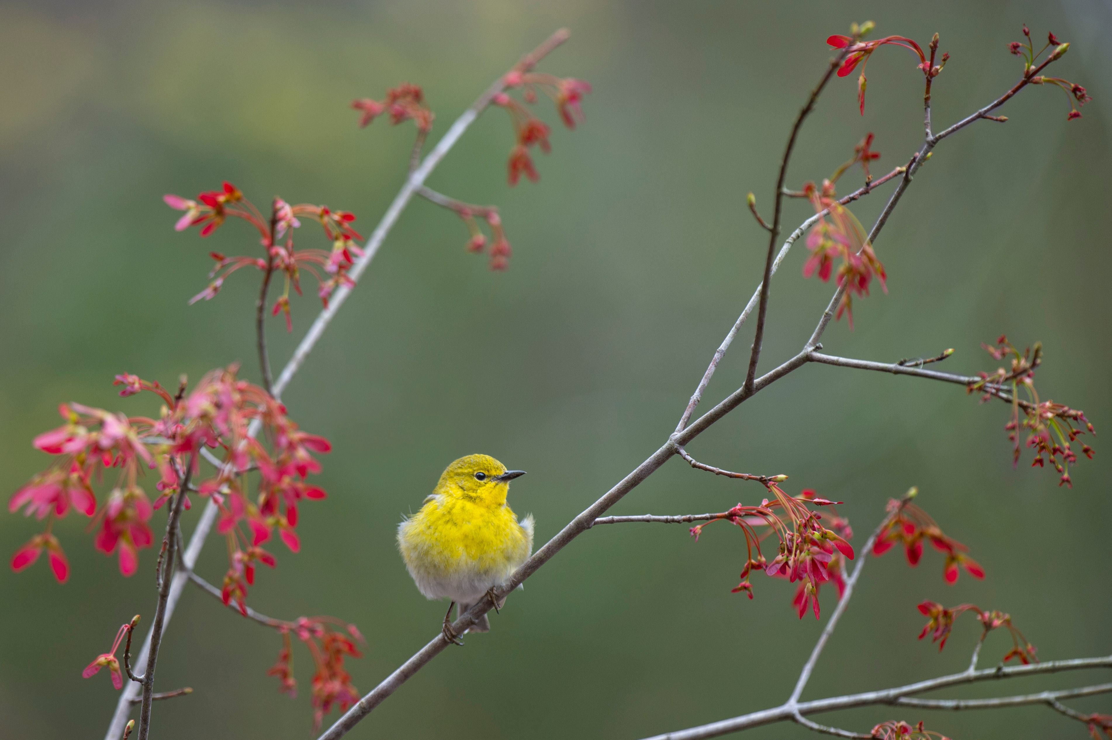 A pine warbler is perched in a maple tree.