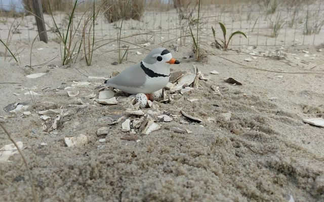 A piping plover decoy is sitting on a fake nest with eggs.