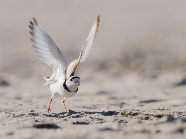 Piping plover gets ready for takeoff on a beach.