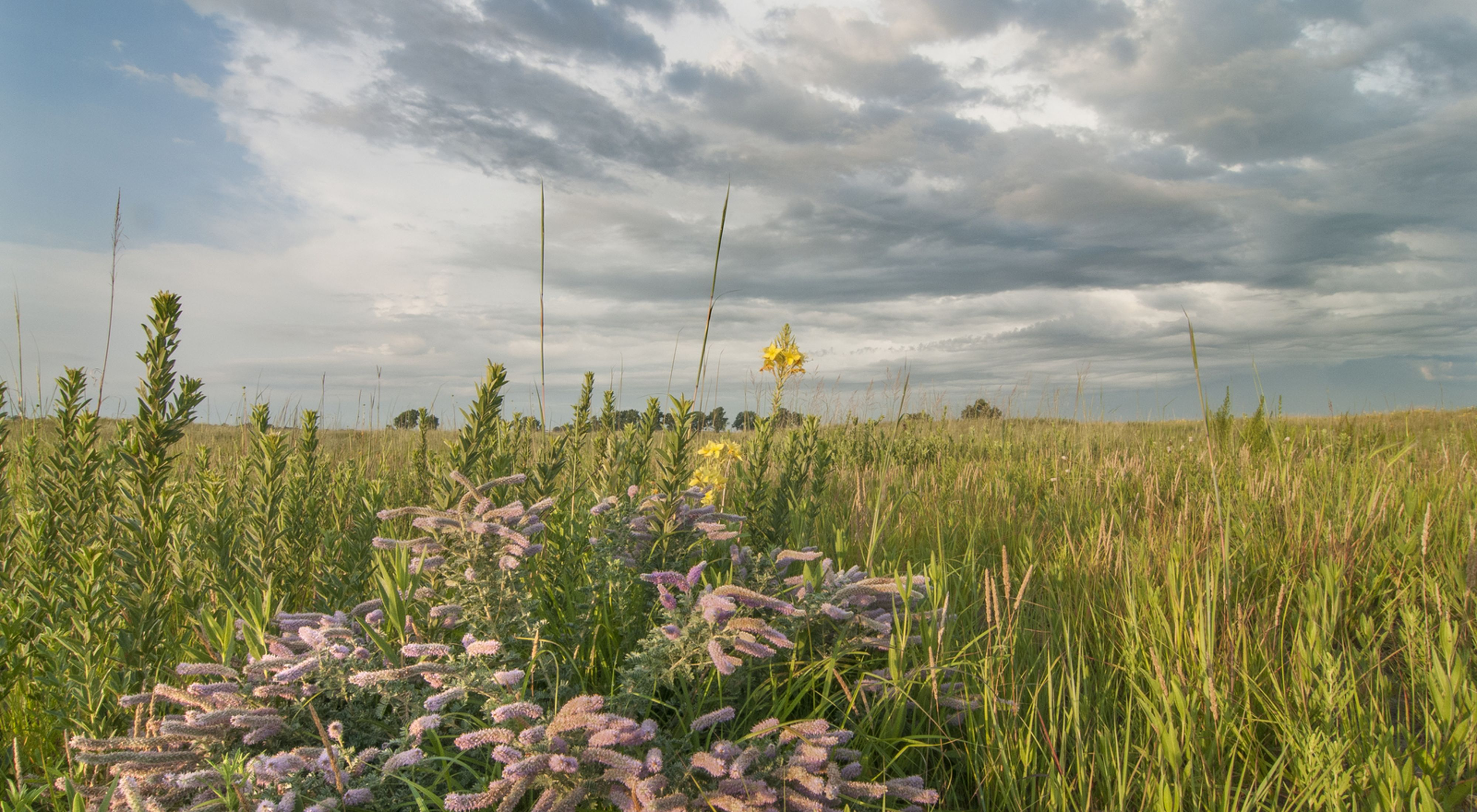 Silky prairie clover and restored sand prairie.