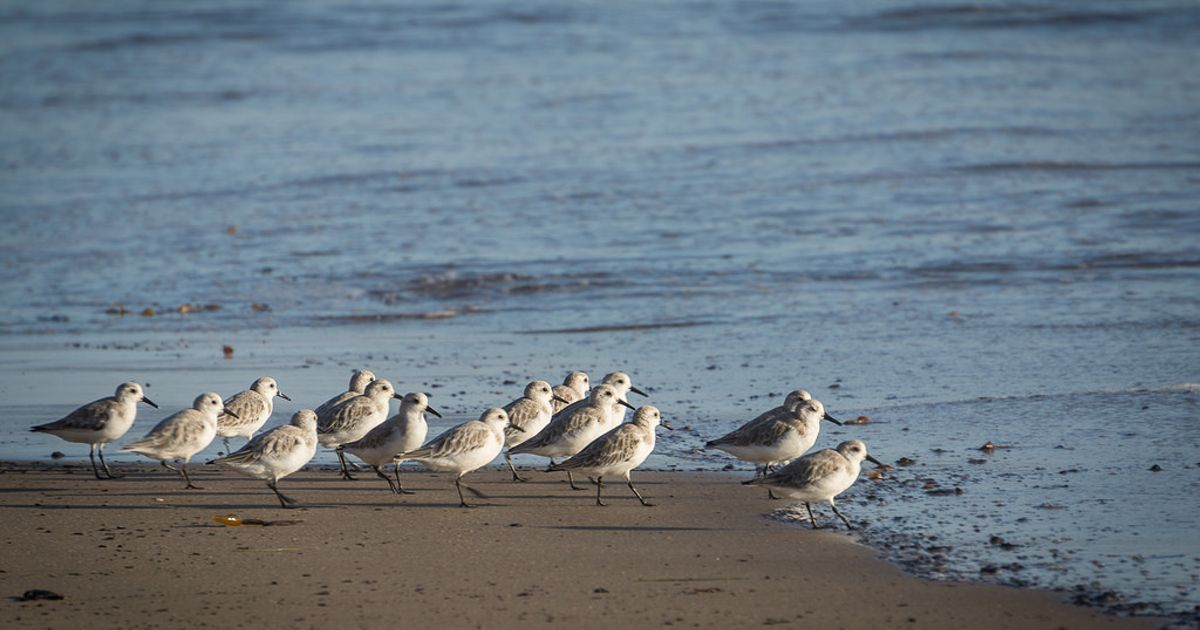 Plovers at the edge of the water