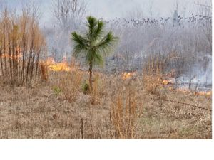 Fire approaches a longleaf pine seedling.
