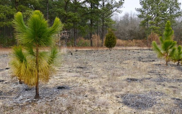 2 green saplings stand unharmed in a burned over field.