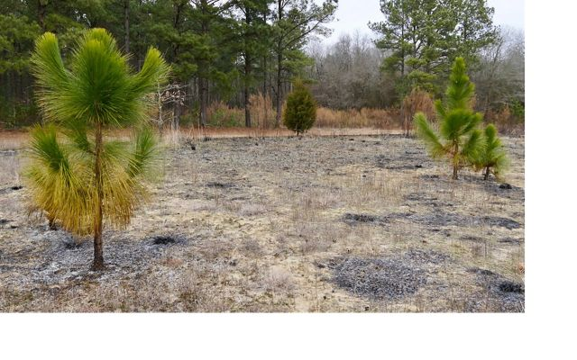Longleaf pine saplings after a controlled burn at Maryland's Plum Creek Preserve, site of an experimental assisted migration project. February 2020.