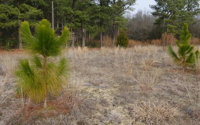 Two small longleaf pine saplings stand amid tall grass.