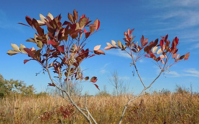 Red oval-shaped leaves sit atop thin branches in a field of golden brown grasses with a blue sky as a backdrop.