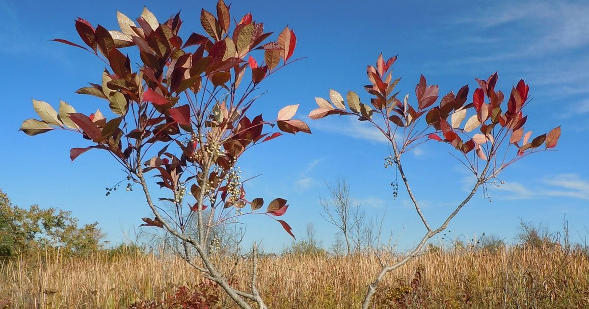 Poison sumac with deep red fall color can be seen at several Ohio preserves.