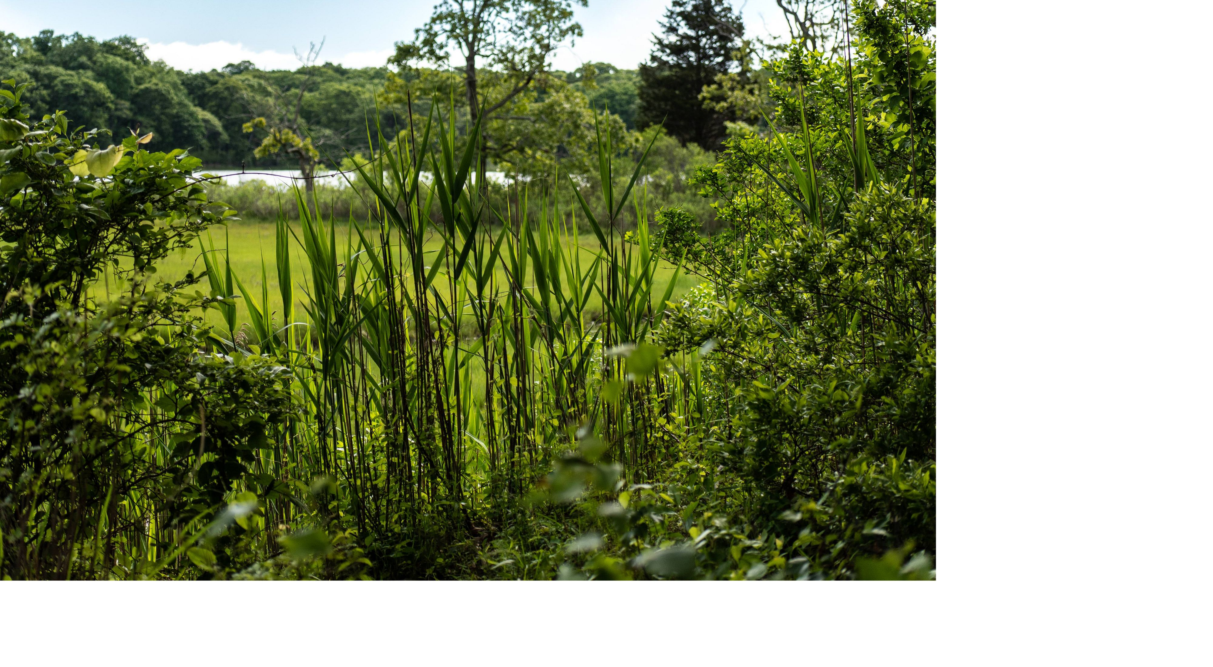 A view through green foliage and plants with a pond in the background.