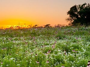 Spring flowers glowing in an evening sunset at Pontotoc Ridge Preserve, OK.