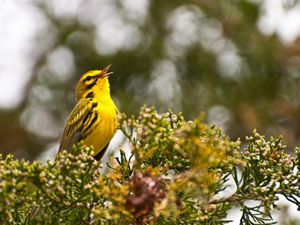 A chirping bright yellow prairie warbler.