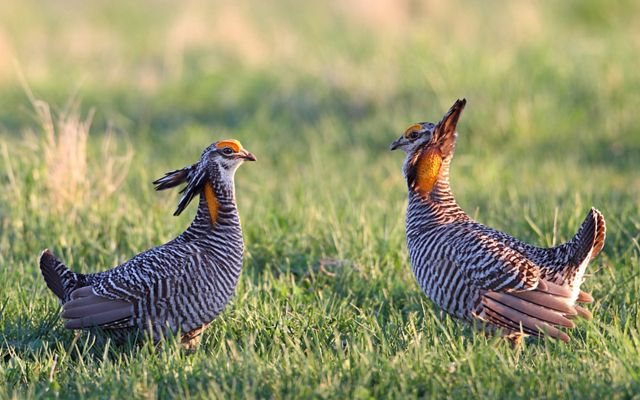 Two greater prairie chickens face each other on grasslands at Dunn Ranch Prairie.