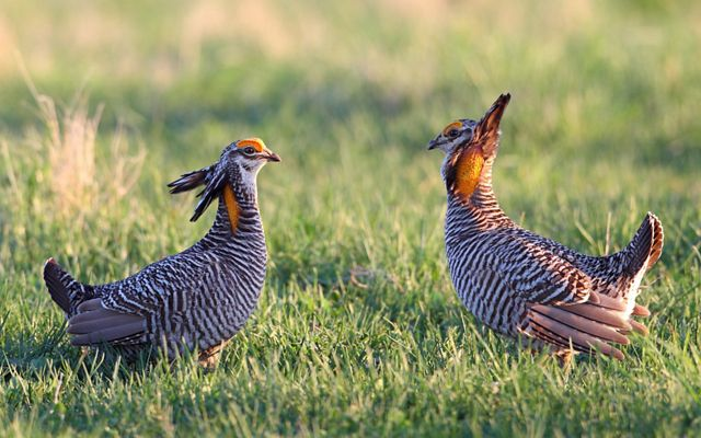 Two prairie chickens stand facing each other in a grassy field.