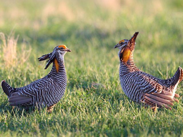 Greater Prairie Chickens on Dunn Ranch Prairie.