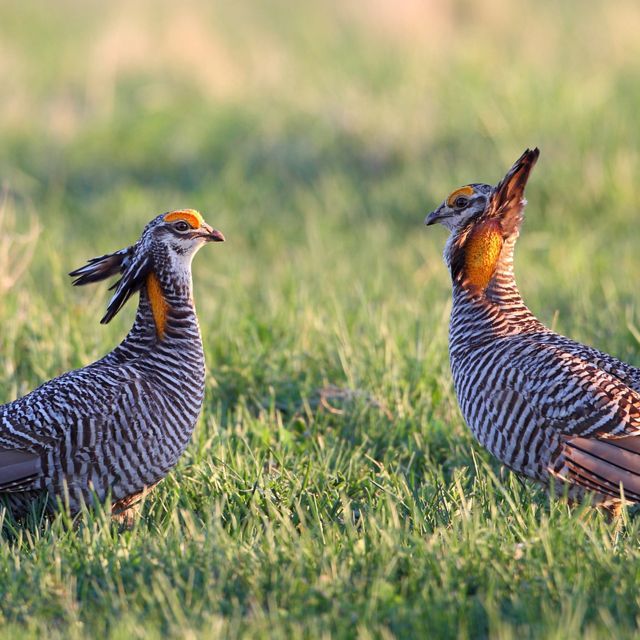 Close up of two prairie chickens in an open field.