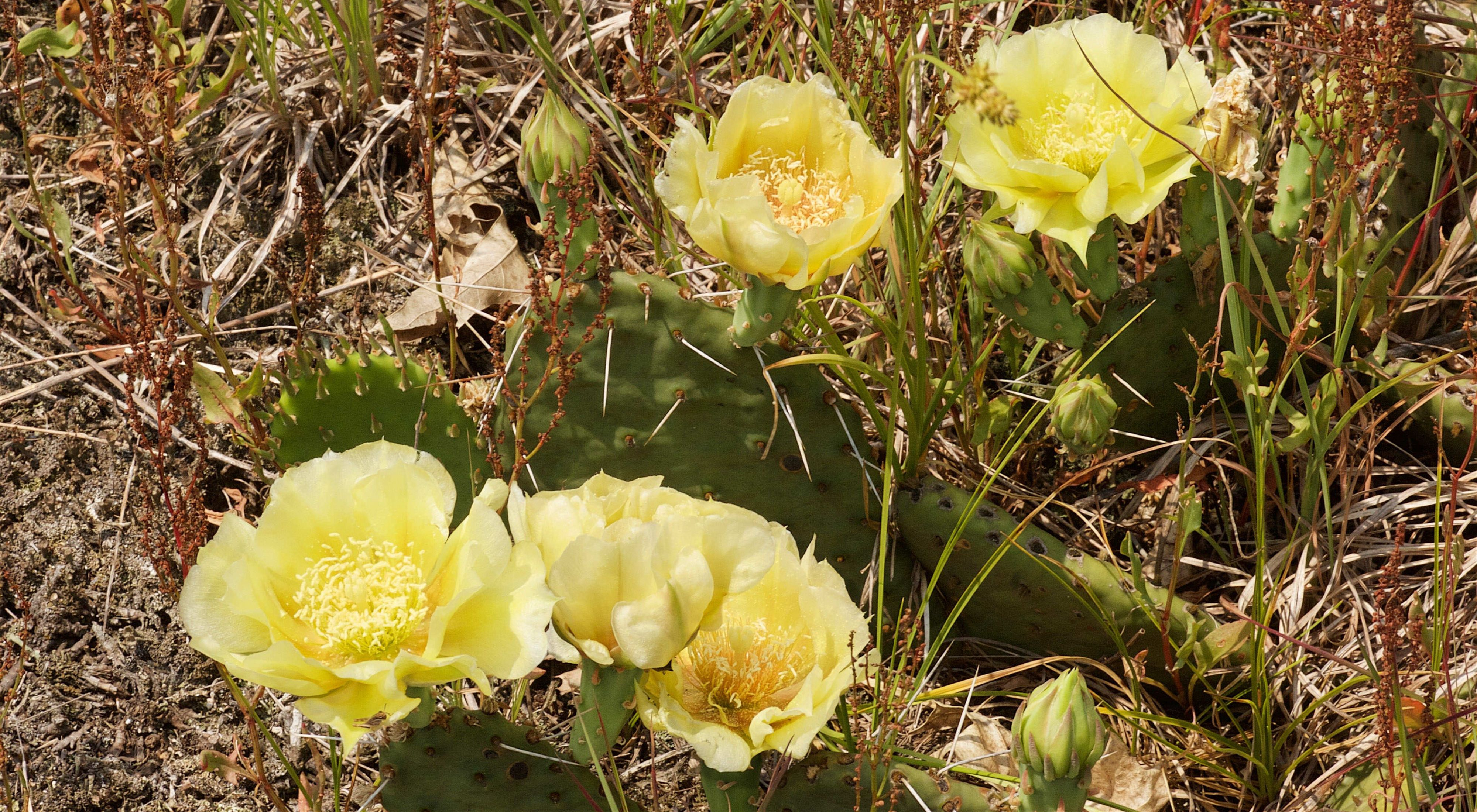 Close-up photo of two prickly pear cacti at Spring Green Prairie with their large, yellow flowers in bloom