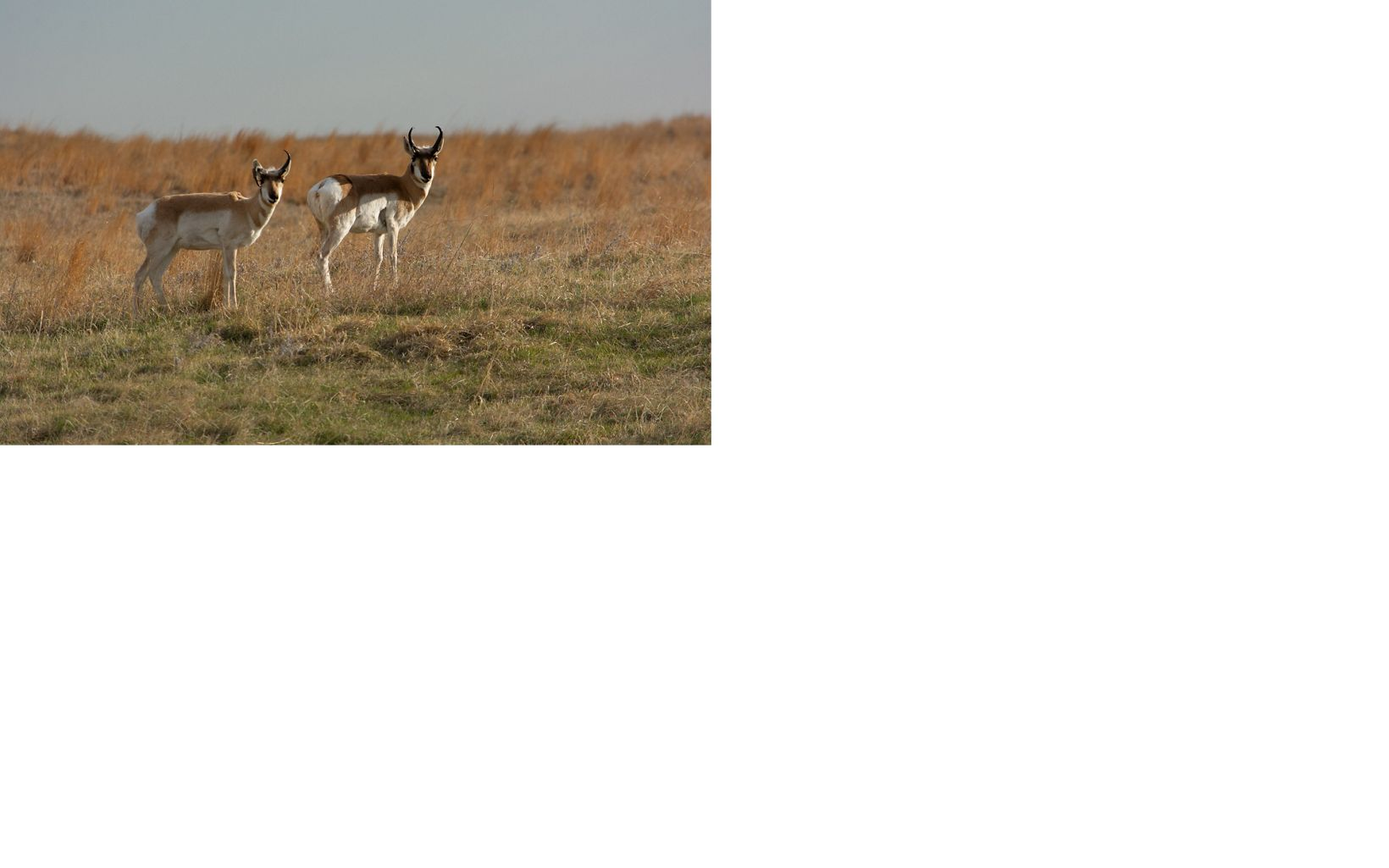 A single pronghorn standing in prairie grasses looking at the camera.
