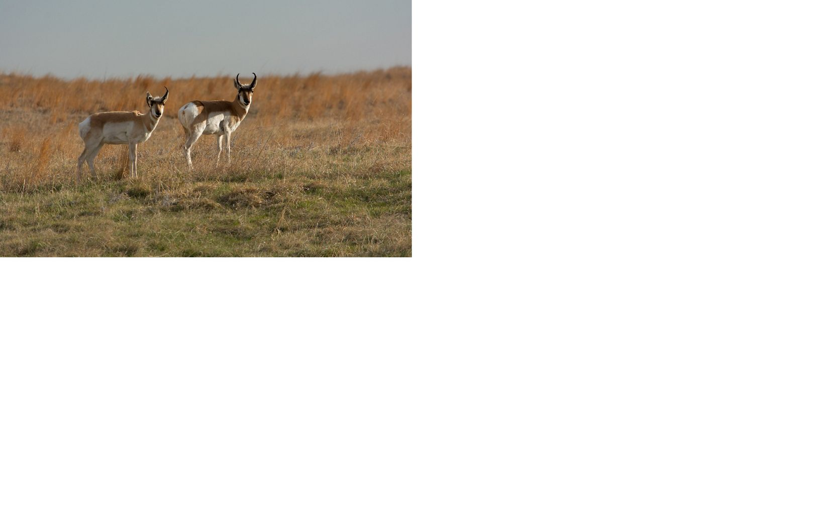 sometimes called antelope, this uniquely North American mammal still plays on the range in western Kansas.