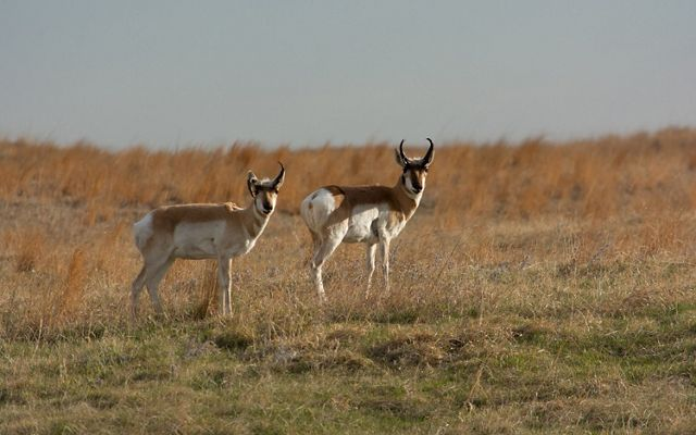Two pronghorn antelope standing in the Niobrara Valley Preserve they help maintain by grazing activity that ensures balance in the prairie ecosystem as the climate changes.