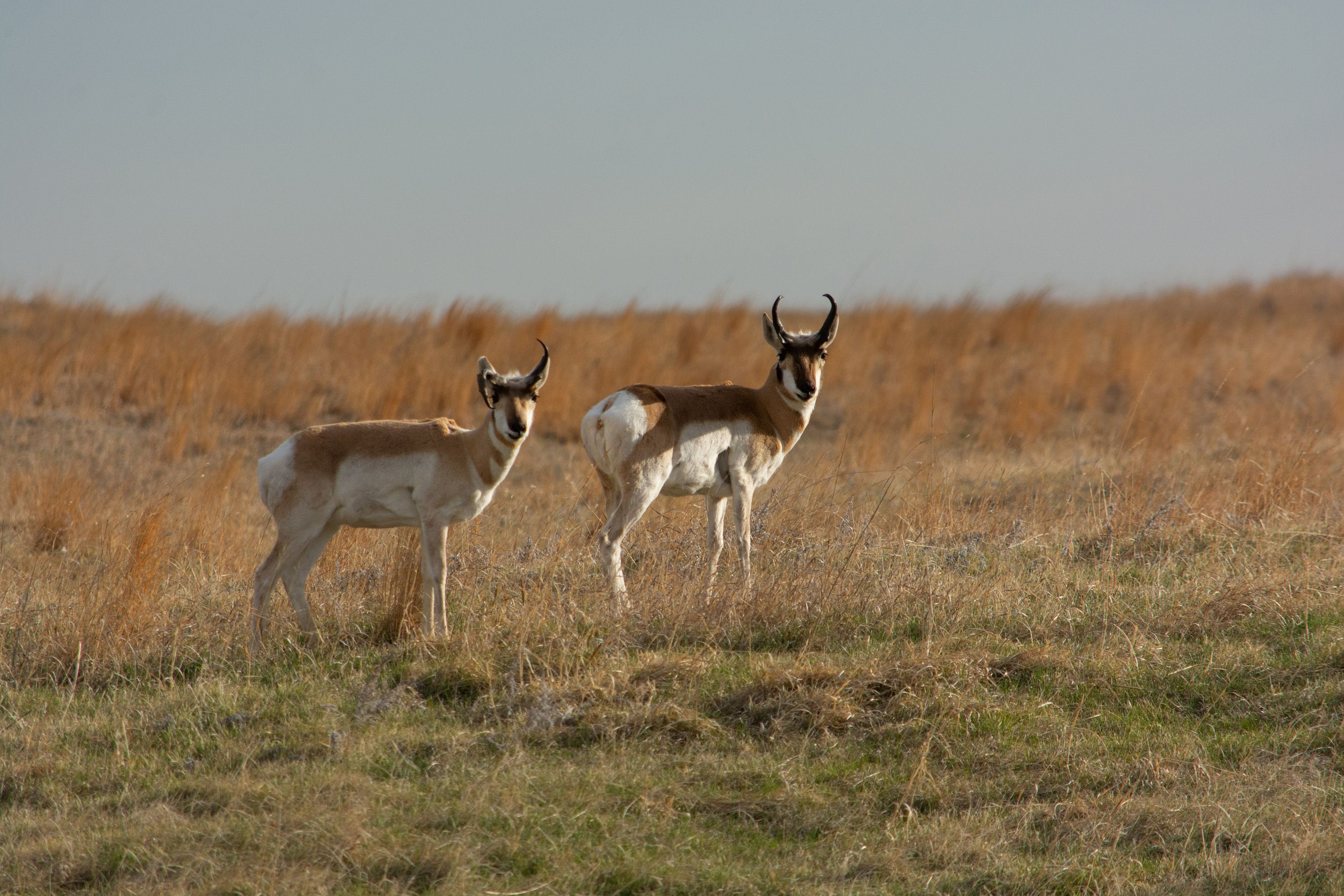 Pronghorn pair in the distance