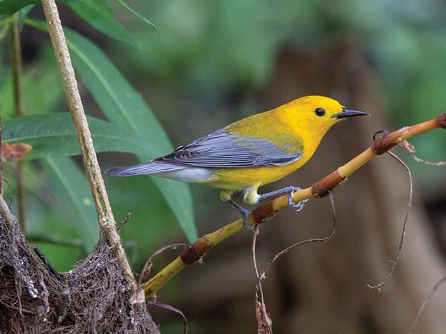 A prothonotary warbler sitting in a tree.