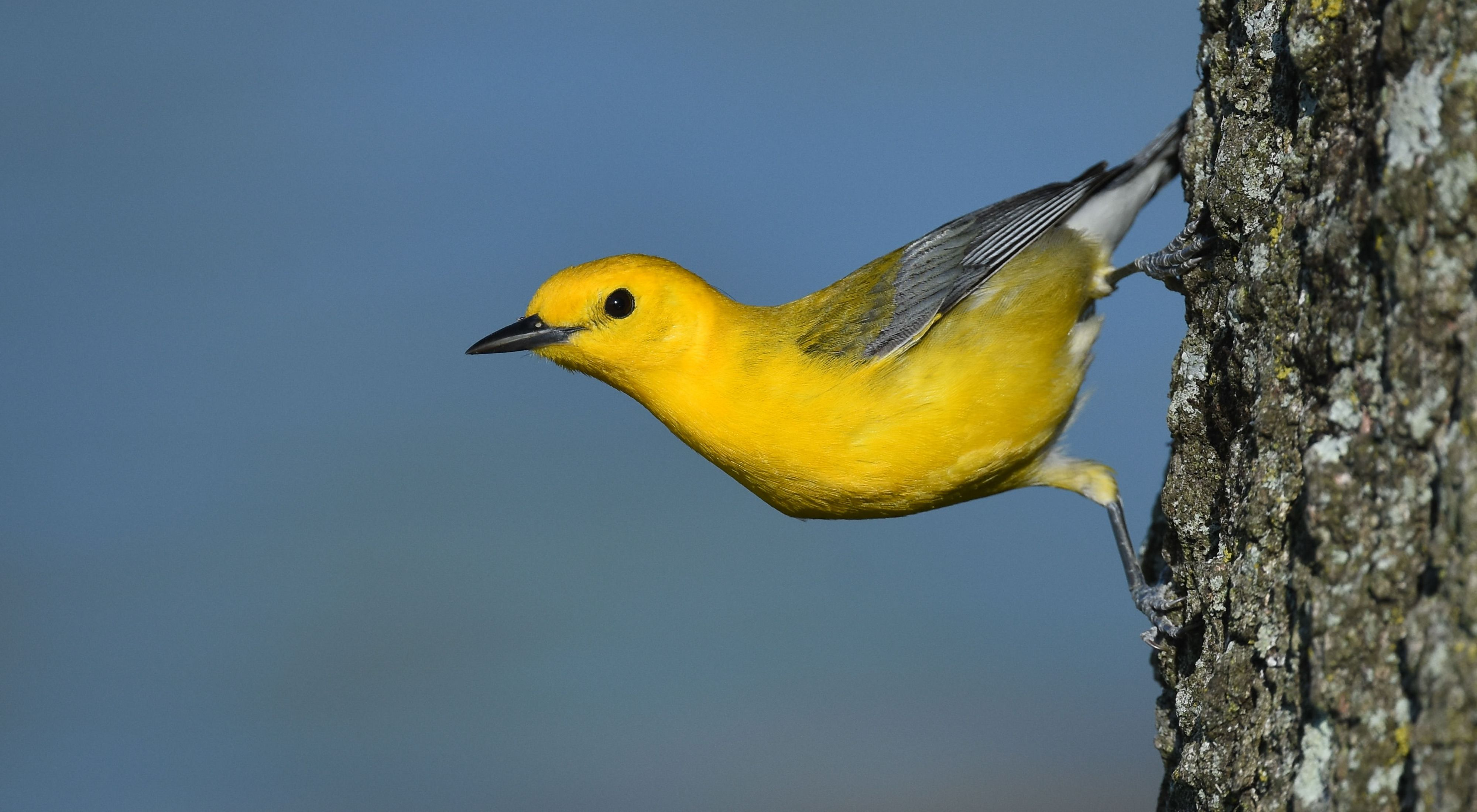 Prothonotary warblers thrive in swampy habitats along the Savannah River.
