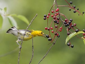 Yellow bird sits on perch with green background reaching for blue and red berries.