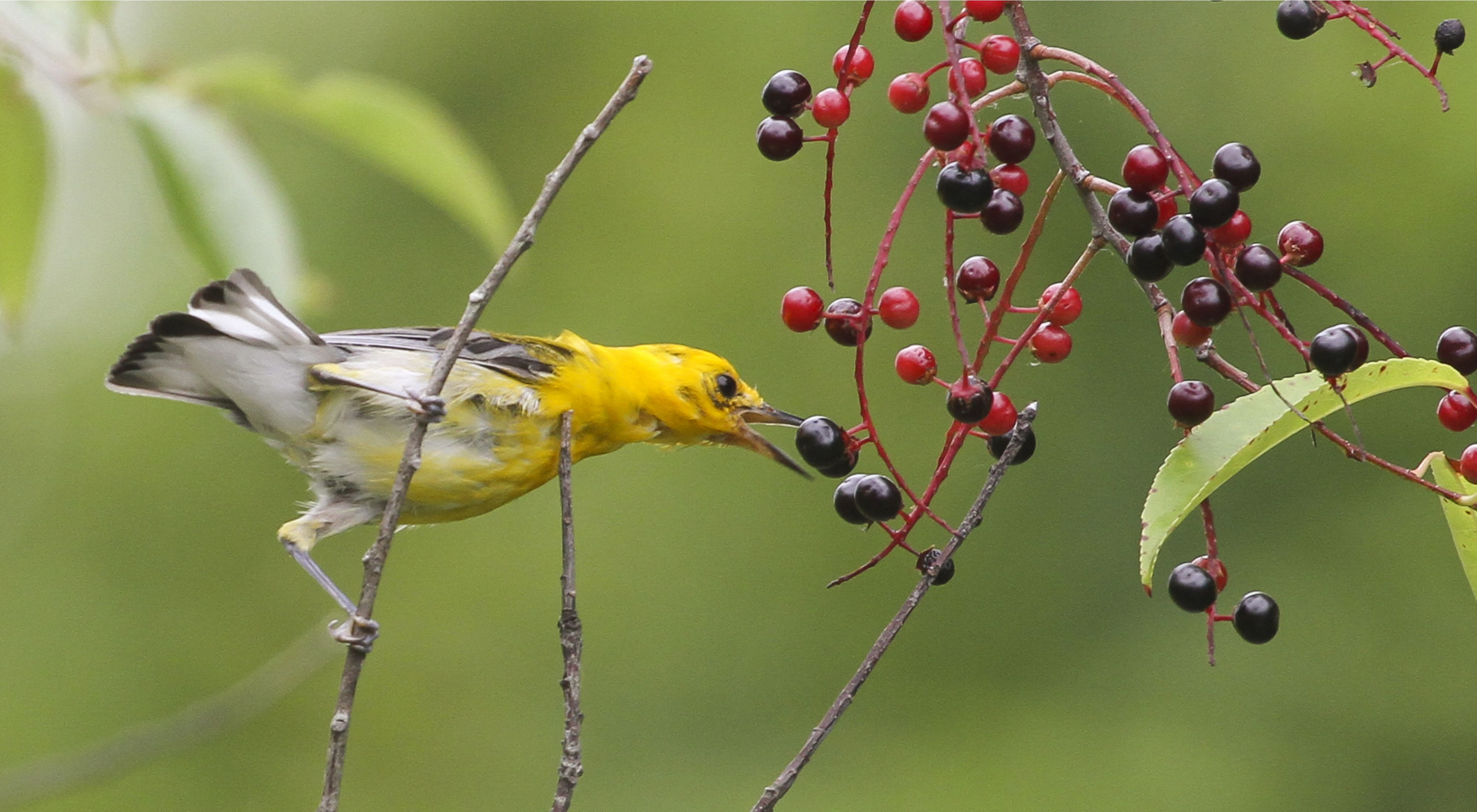 A yellow bird bites at blue and red berries in a forest.