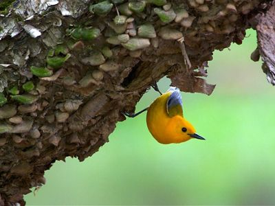 Prothonotary warbler: