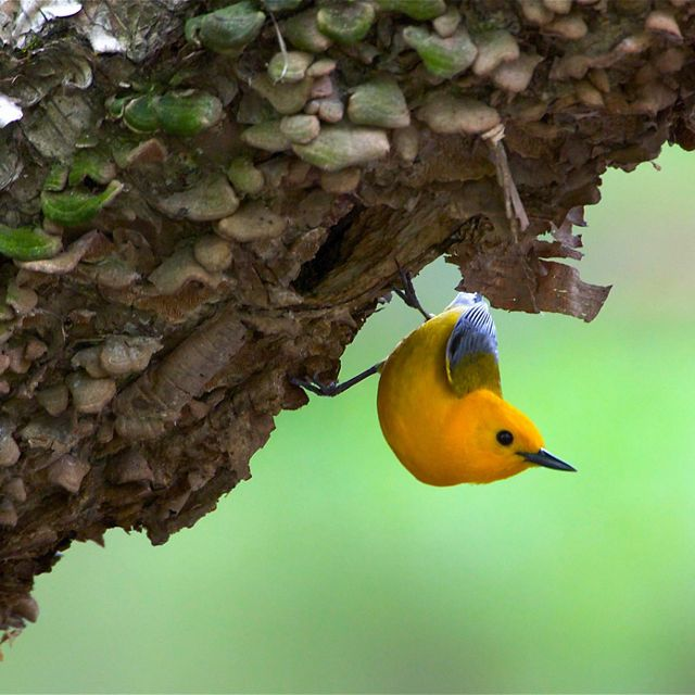 Yellow warbler perched on underside of tree